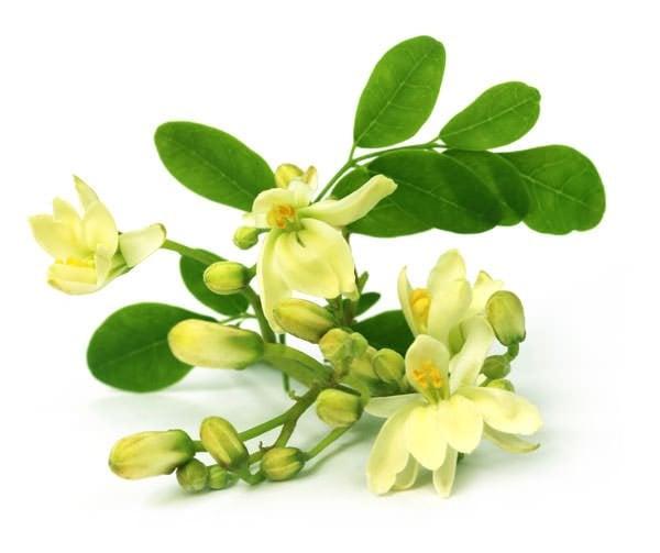 moringa_flower